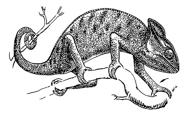 Chameleon, : Chameleon Standing on Tree Branch Coloring Pages