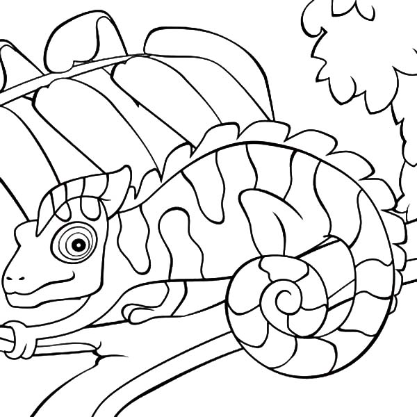 Chameleon, : Chameleon Waiting for Prey Coloring Pages