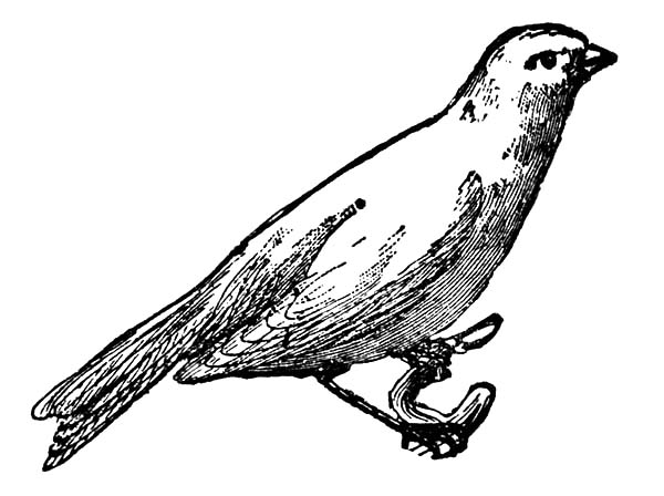Canary Bird, : Pencil Sketch Canary Bird Coloring Pages