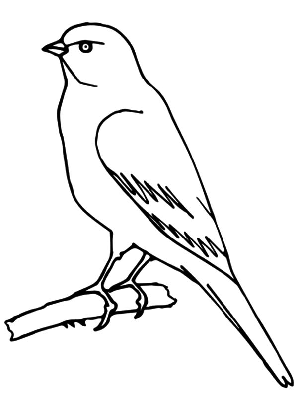 Canary Bird, : Perched Canary Bird Coloring Pages