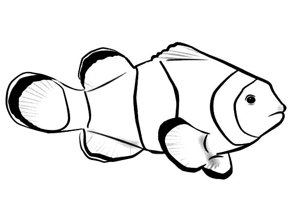 Clown Fish, : Picture of Clown Fish Coloring Pages