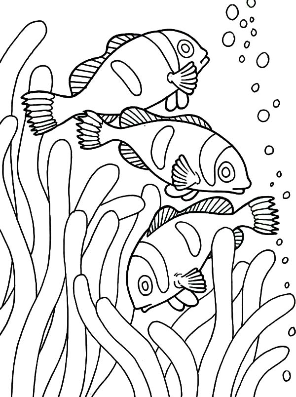 Clown Fish, : School of Clown Fish Coloring Pages