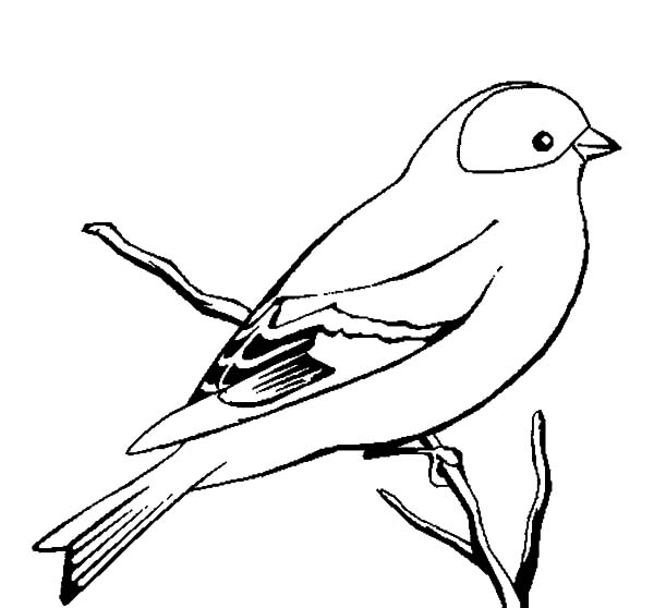 Canary Bird, : Wild Canary Bird Coloring Pages