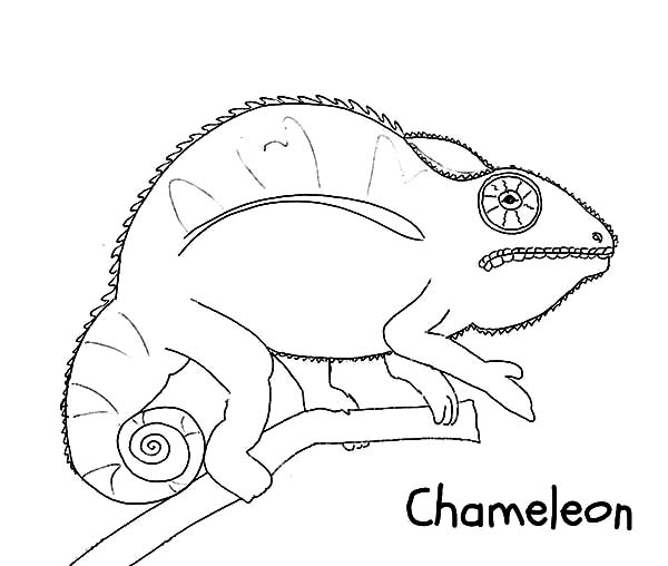 Chameleon, : Wild Life Chameleon Coloring Pages