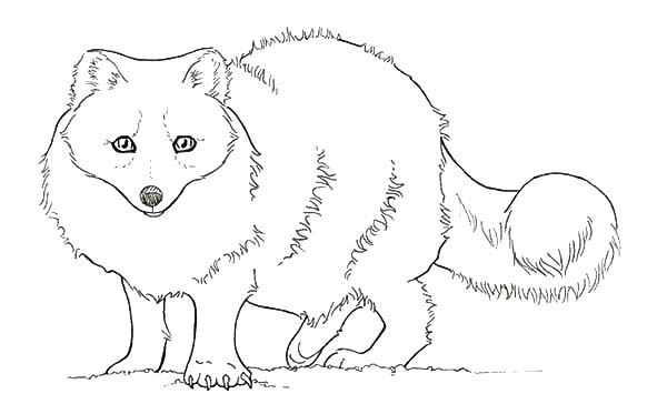 Baby Artic Fox Coloring Pages