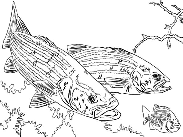 Bass Fish Chasing Little Fish Coloring Pages Best Place To Color