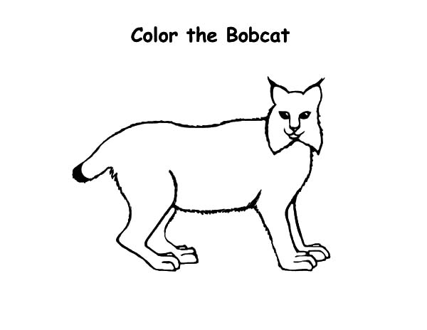 Kids Drawing Bobcat Coloring Pages Best Place To Color